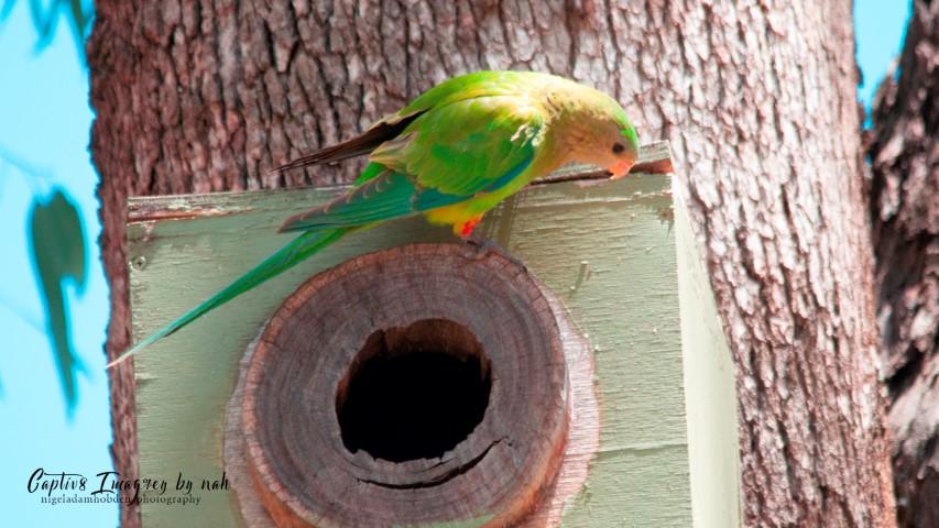 Female Superb Parrot on nesting box