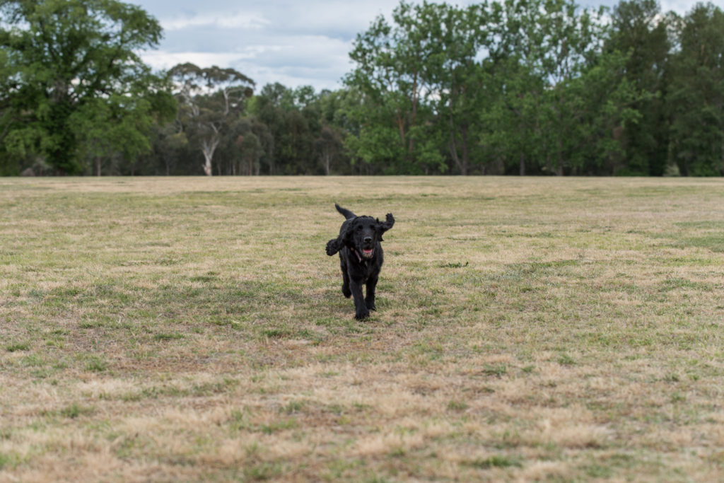 Dog running in an off leash area