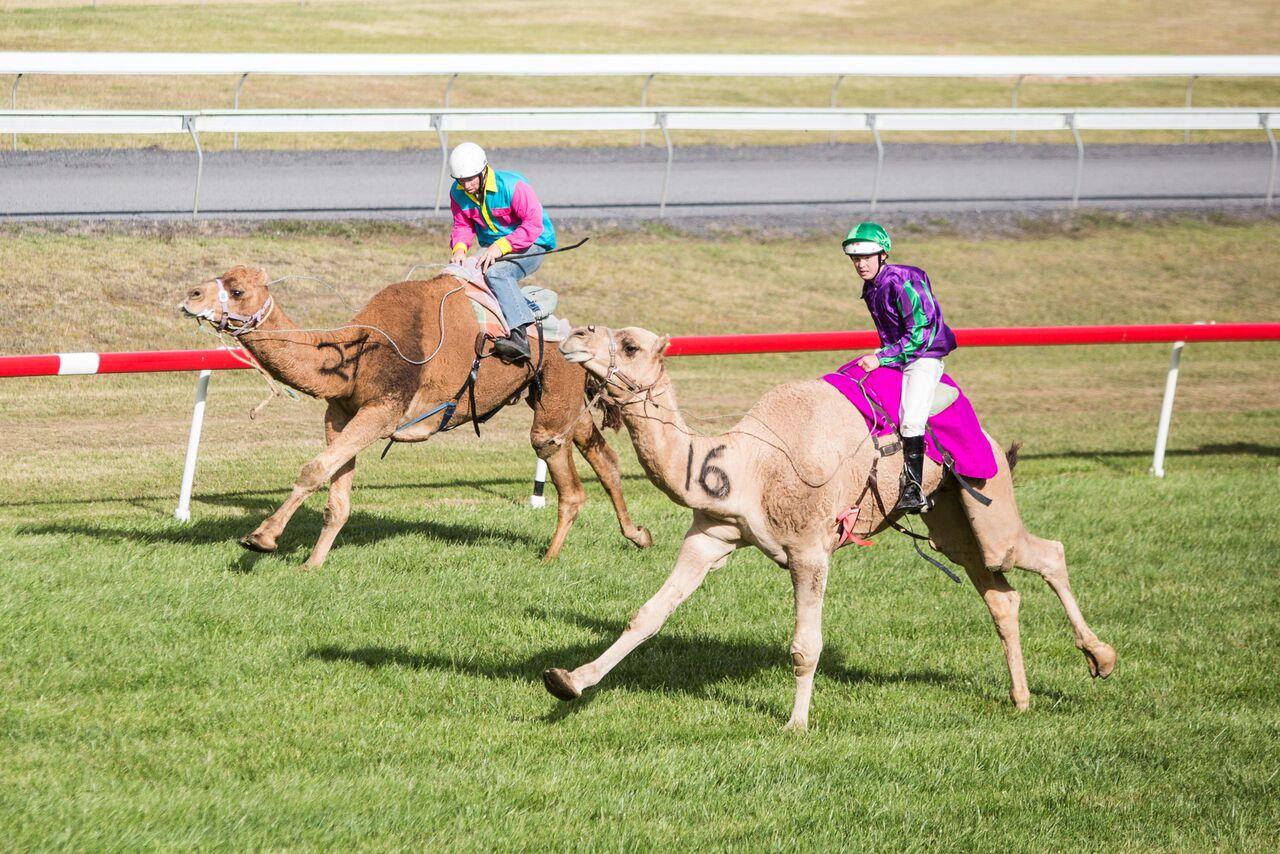 Camels racing